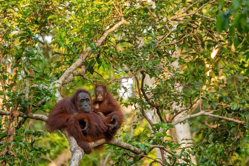 Forêt primaire abritant l'orang-Outan